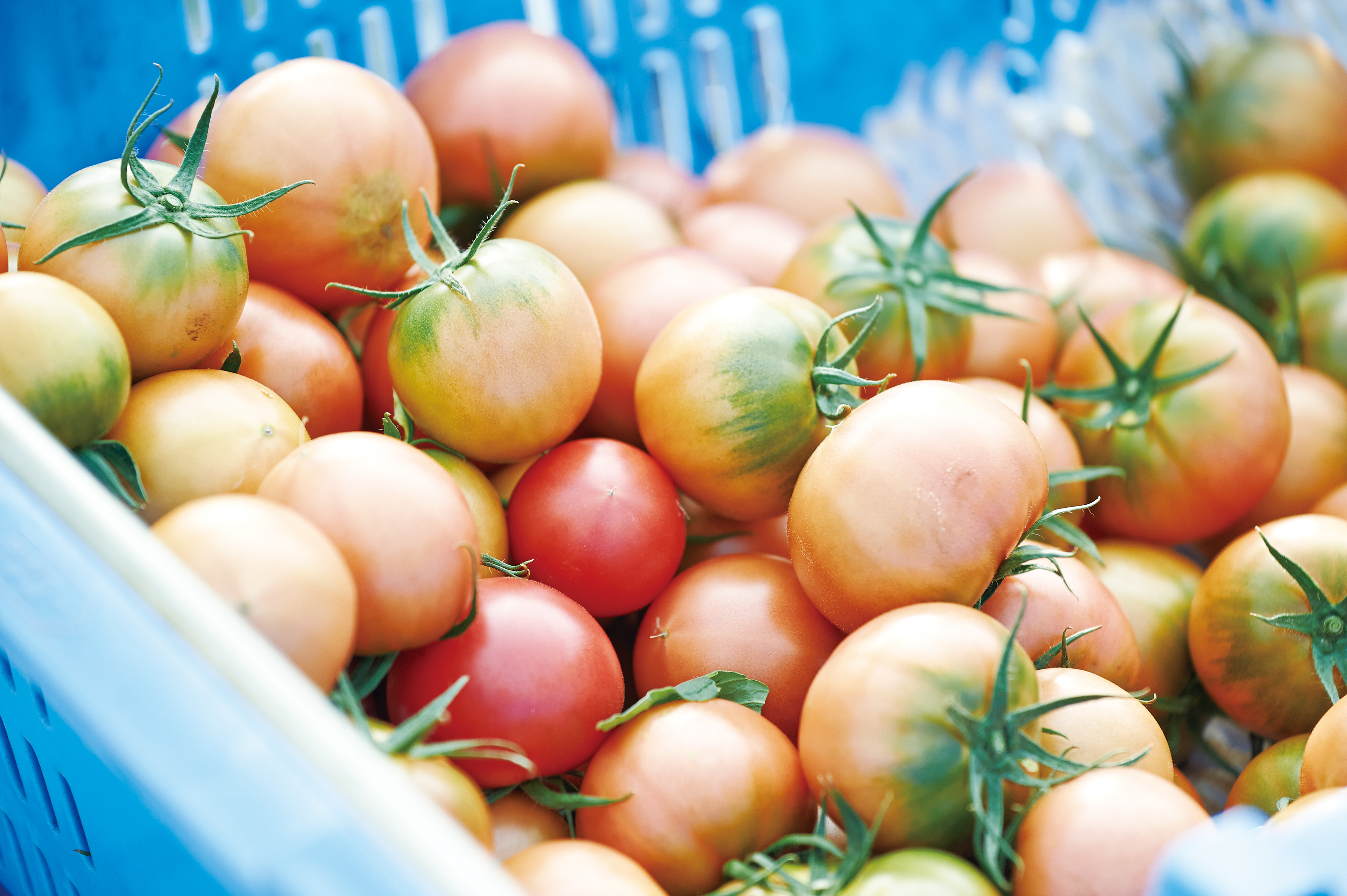 夜須フルーツトマト